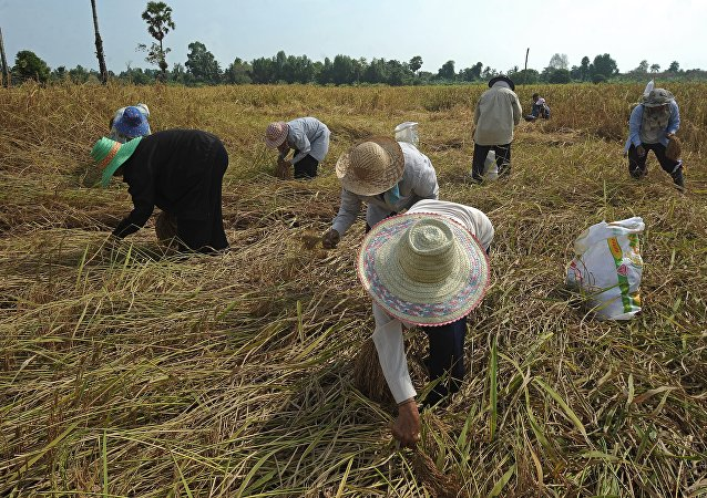 Thai farmers harvest rice at a field in the Takbai district of Thailand's restive southern province of Narathiwat on March 17, 2016