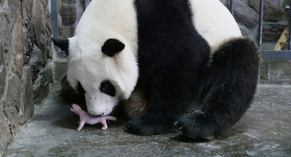 Mother giant panda Aibang is seen with her newborn cub at a giant panda breeding centre in Chengdu, Sichuan Province, China, May 6, 2016.