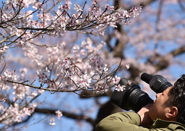 A television cameraman films cherry blossoms